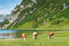 A Herd Of Cows Grazing On An Alpine Meadow At The Foot Of A High Mountain With Still Snow. Alpine Mountain Lake And Green Nature In The Middle Of Summer.