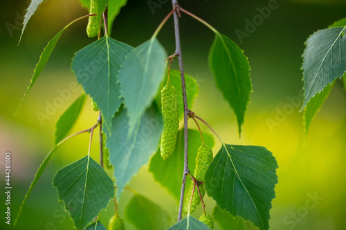Tela Green leaves on a birch in the park.
