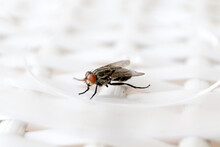 Common Fly On A White Chair, Macro Flies. A Small Common Housefly Insect Macro Photo On A White Chair.
