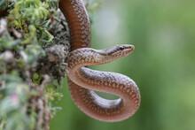 Smooth Snake Coronella Austriaca Head In Nature