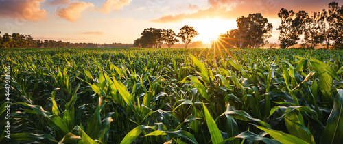 Fotografering View of a corn field at the sunset