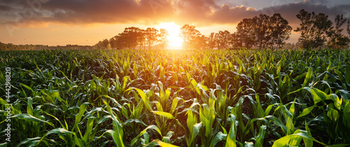 Canvas View of a corn field at the sunset