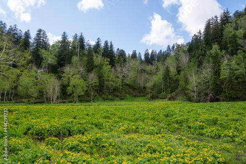 Fotografie, Obraz 初夏の黄色い花が咲く湿原 大雪山