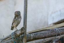 Little Owl (Athene Noctua) Young Owlet In A Derelict Old House Perched Standing Upright At Dusk