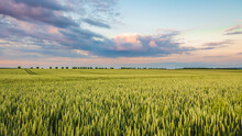 Green Wheat Field With A Blu Cloudy Sky In Background