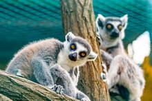 Lemur Catta Animal, Detail Of Head. Mammal Naturally Living On Madagascar.