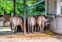 Group Of Norwegian Horses - View To The Animal Back.