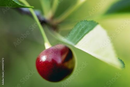 Fotografiet A single red ripe cherry hanging on a branch of a cherry tree