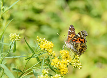 American Lady Butterfly (Vanessa Virginiensis) Feeding On Small Yellow Flowers. Copy Space. Closeup.