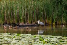 Gray Heron Caught A Fish While Hunting.