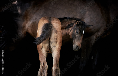 Murais de parede Newborn brown foal standing with horse mother, thoroughbred filly foal with mare isolated on black