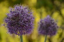 Two Purple Balls Of Flowering Onion (giant Allium)
