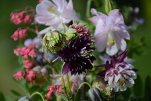 Aquilegia, Gaiter And Other Flowers On A Blurred Background