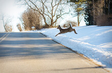 A Whitetailed Deer Jumps Out Onto A Rural Roadway In Front Of An Oncoming Vehicle.