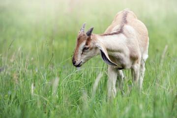 Little goatling in a green spring meadow
