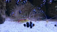 Ungraded: Clownfish Swim Against Background Of Anemone Algae In Aquarium