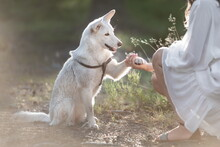 White Mongrel Dog Giving Paw To Human Hand At Nature