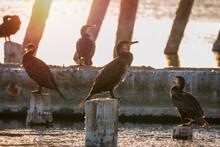 A Flock Of Cormorants Sits On A Old Sea Pier In Orange Sunset Light