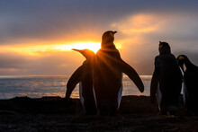Sun Rays With King Penguins (Aptenodytes Patagonicus), At St. Andrews Bay, South Georgia