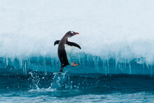 Gentoo Penguin (Pygoscelis Papua) Jumps Out Of The Water Onto Iceberg, Cuverville Island, Antarctica