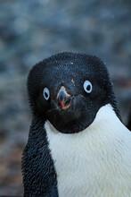 Adelie Penguins (Pygoscelis Adeliae) Portrait On Torguson Island, Near Palmer Station, Antarctica