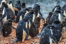 Snowflakes And Adelie (Pygoscelis Adeliae) Penguins With Chicks On Torguson Island, Near Palmer Station, Antarctica