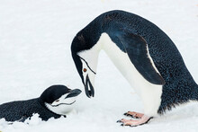 Chinstrap Penguins (Pygoscelis Antarcticus) Showing Courtship Behavior At Half Moon Island, South Shetland Islands, Antarctica