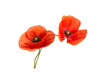 Bright red poppies flowers isolated on white background.