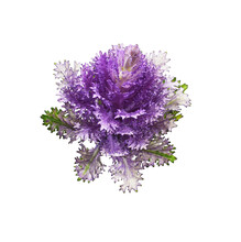 Purple Ornamental Kale Isolated On White