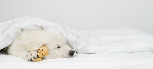 White Swiss shepherd puppy sleeps with toy bear under white warm blanket on a bed at home. Empty space for text