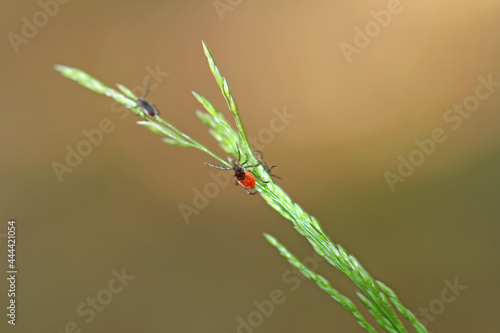 Fotografie, Obraz common wooden trestles lurking on the blade of grass, left the male and female r
