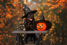 Happy Black Dog In A Wizard Hat With Pumpkin Posing For Halloween