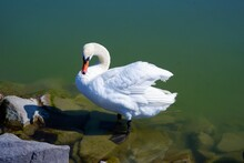 White Swan Wild Bird Standing On The Rocky Shore In The Water Of The Lake Balaton In Hungary In A Sunny Summer Day