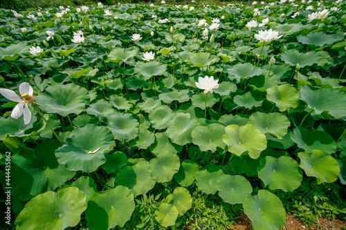 Canvas July 9, 2021-Sangju, South Korea-Lotus flowers are in full bloom in a pond at Sangju in South Korea's largest colony of the Jisan-ri