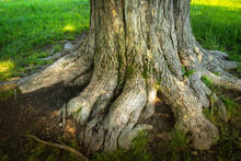 Massive Roots Of An Elm Tree Trunk In The Green Lawn Garden, Close Up Photo In Summer