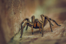 Spider Standing On The Floor, Close Up. Macro Photography. Wolf Spider. Lycosa Erythrognatha