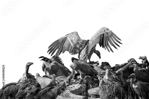Canvas Print White backed Vulture group scavenging giraffe's carcass isolated in white backgr