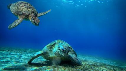 turtle swims underwater
