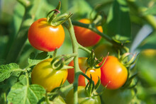 Closeup Of Tomatoes On A Branch