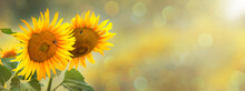 Two Blooming Sunflowers On A Blurred Background Of Nature.