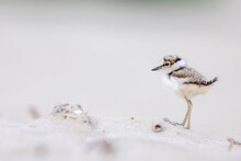 Little Ringed Plover Chick On The Beach,  Shorebirds