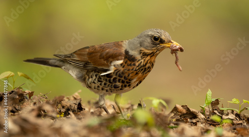 Fotografie, Obraz Turdus pilaris The thrush hunted the worm among the leaves.