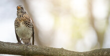 Turdus Pilaris Sitting On A Tree Branch In The Woods, Close-up, Selective Focus.