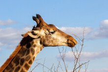 Giraffe Closeup Feeding On Thorny Twigs With Blurred Background Of Blue Sky With Clouds.