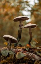 Golden Teacher Mushrooms In Forest