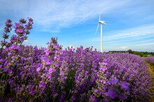 Lavender Field With Blooming Purple Bushes Grown For Cosmetic Purposes At Sunset Near Burgas, Bulgaria. Wind Turbines In The Background