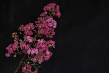 Lagerstroemia, Commonly Known As Crape Myrtle.
