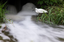 Egret Catching Fish In The Flowing Stream.