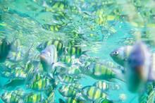 Snorkel, Fish, Tiger Fish.Tiger Fish In Tropical Sea At Krabi Thailand,Feeding Fish ,Andaman