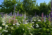 Flowering Meadow With Lupins And Daisies In Summer Sunny Day